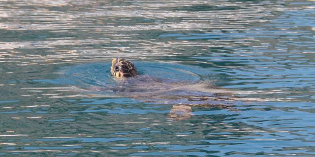 3 - 4 skildpadder sonderer havnen for nye fiskerbåde. det var vi jo ikke ligefrem...